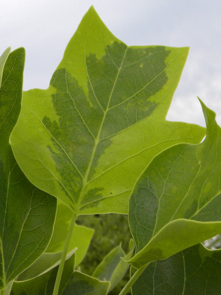 Varigated Tulip Tree