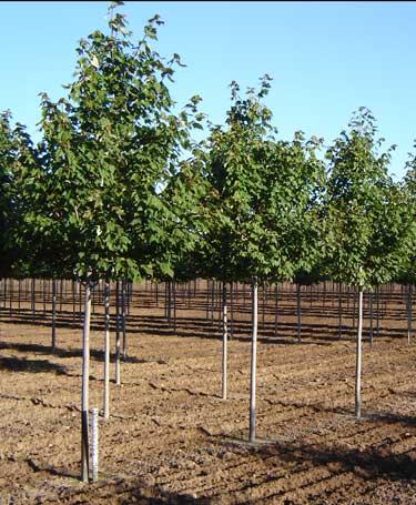 Northwood Maple- Acer rubrum 'Northwood' - Timberline Trees, llc