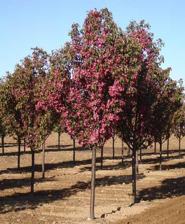 Red Barron Crabapple Malus Red Barron Timberline
